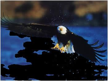 مرغابی یا عقاب